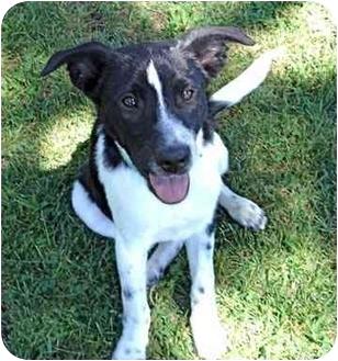 Border Collie Mix Dog for adoption in Spring Valley, New York - Benji