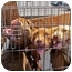Photo 1 - Pit Bull Terrier Mix Puppy for adoption in Los Angeles, California - Coliseum Pups-females