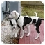 Photo 2 - American Bulldog/American Staffordshire Terrier Mix Dog for adoption in New York, New York - Belly