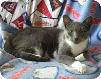 Domestic Shorthair Cat for adoption in Merrifield, Virginia - Goodness