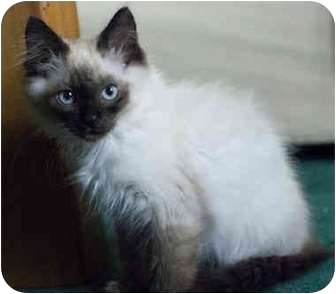 Himalayan Kitten for adoption in Los Angeles, California - Fluffy