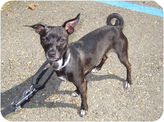 Chihuahua/Italian Greyhound Mix Dog for adoption in Sacramento, California - Mikey