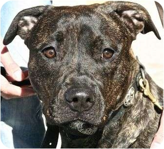 American Pit Bull Terrier Mix Dog for adoption in Berkeley, California - Duchess