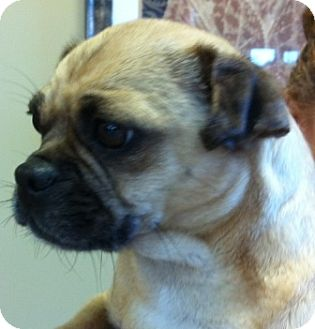 Pug Dog for adoption in Oswego, Illinois - I'M ADOPTED Daisey Lupei
