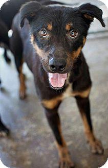 Rottweiler Mix Dog for adoption in Henderson, North Carolina - Kane
