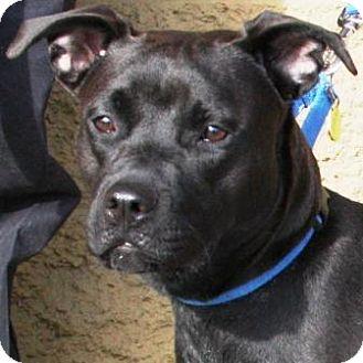 American Pit Bull Terrier Mix Puppy for adoption in Gilbert, Arizona - Spirit
