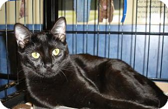 Domestic Shorthair Cat for adoption in Gainesville, Florida - Jocelyn