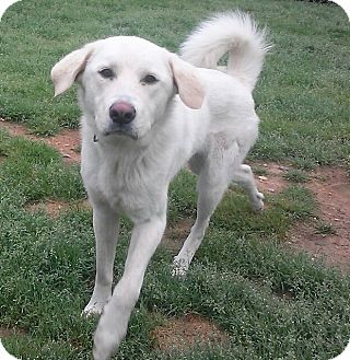 Labrador Retriever Mix Dog for adoption in Richmond, Virginia - Stormy