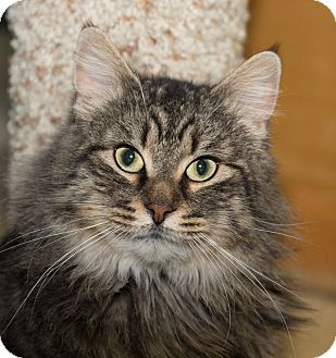 Maine Coon Cat for adoption in Seville, Ohio - Footsie