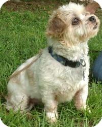 Shih Tzu Dog for adoption in Kingwood, Texas - Rascal