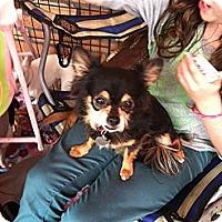 Adopt A Pet :: Lulu - North Hollywood, CA