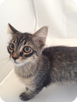 Domestic Shorthair Kitten for adoption in Fountain Hills, Arizona - JULIE