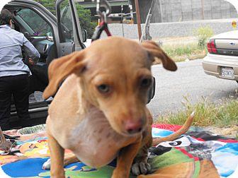 Chihuahua Mix Dog for adoption in Santa Ana, California - Chelse (JR)