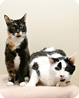 Domestic Shorthair Cat for adoption in Bellingham, Washington - Beal