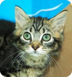 Domestic Mediumhair Kitten for adoption in Bradenton, Florida - Liz