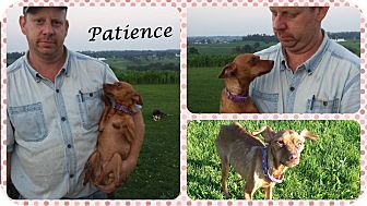 Chihuahua/Miniature Pinscher Mix Dog for adoption in DOVER, Ohio - Patience