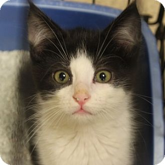 Domestic Shorthair Kitten for adoption in Naperville, Illinois - Wobbles
