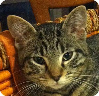 Domestic Shorthair Kitten for adoption in San Leandro, California - Devon