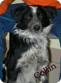 Border Collie Dog for adoption in Lewisburg, West Virginia - Collin