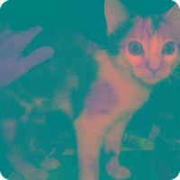 Adopt A Pet :: Callie - Chandler, AZ