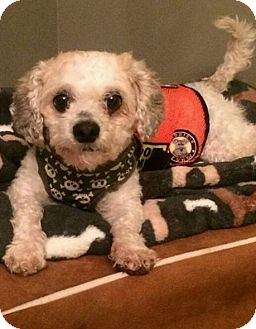 Maltese Mix Dog for adoption in Freeport, New York - Henry