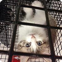 Adopt A Pet :: Caliope - Chiefland, FL