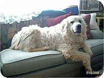Great Pyrenees Dog for adoption in Rutherfordton, North Carolina - Ursula