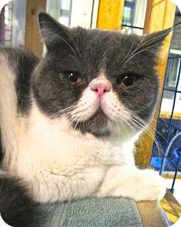 Exotic Cat for adoption in Davis, California - Ozzie
