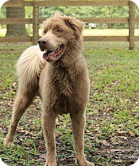 Australian Shepherd/Labradoodle Mix Dog for adoption in Sarasota, Florida - Brownie