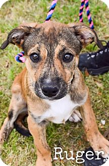 Black Mouth Cur/Australian Kelpie Mix Puppy for adoption in DFW, Texas - Ruger