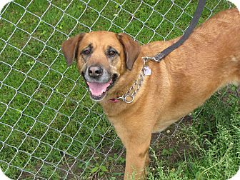 Labrador Retriever/Shepherd (Unknown Type) Mix Dog for adoption in Reed City, Michigan - REBA