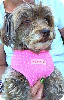 Havanese/Poodle (Miniature) Mix Dog for adoption in Boulder, Colorado - Penny-ADOPTION PENDING