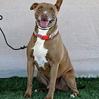 American Pit Bull Terrier/Pit Bull Terrier Mix Dog for adoption in Palm Springs, California - Mortiki
