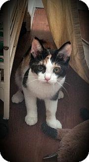 Domestic Shorthair Kitten for adoption in Fairborn, Ohio - Zara