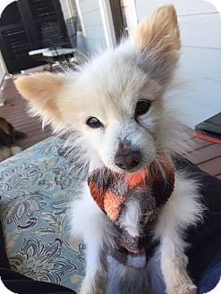 Pomeranian Mix Dog for adoption in Knoxville, Tennessee - Tom the Pom