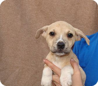 Labrador Retriever/Australian Cattle Dog Mix Puppy for adoption in Oviedo, Florida - Queen