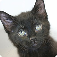 Domestic Shorthair Kitten for adoption in Canoga Park, California - Cracker Jack