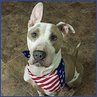 Bull Terrier/Great Dane Mix Dog for adoption in Oakland Gardens, New York - Luke