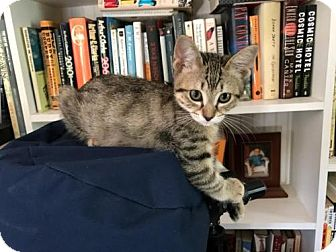 Domestic Shorthair Cat for adoption in Tallahassee, Florida - Tennessee
