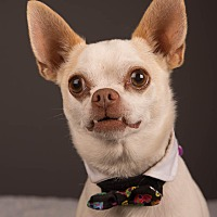 Chihuahua/Pug Mix Dog for adoption in Salem, Oregon - Marty