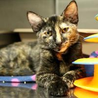 Adopt A Pet :: Rainbow Dash - St. Petersburg, FL