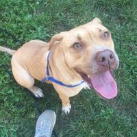 Adopt A Pet :: Sugar - Fairfax Station, VA