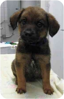 Shepherd (Unknown Type) Mix Puppy for adoption in Florence, Indiana - Dorothy