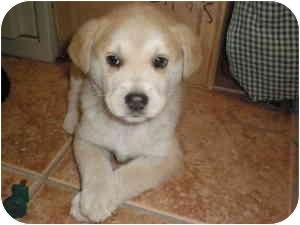 Labrador Retriever/Shiba Inu Mix Puppy for adoption in Franklin, Virginia - Frosty