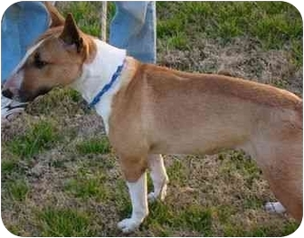 Bull Terrier Dog for adoption in Houston, Texas - Feather