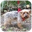 Photo 2 - Yorkie, Yorkshire Terrier Dog for adoption in West Palm Beach, Florida - Kris