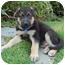 Photo 2 - German Shepherd Dog Mix Puppy for adoption in Los Angeles, California - Graham von Wiesbaden