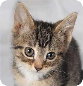 Domestic Mediumhair Kitten for adoption in Chicago, Illinois - Blizzard