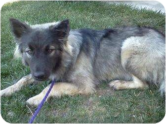 Keeshond/Husky Mix Puppy for adoption in Apple valley, California - Toby
