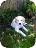 Spaniel (Unknown Type)/Labrador Retriever Mix Puppy for adoption in Foster, Rhode Island - Chumba-I'm in New England!